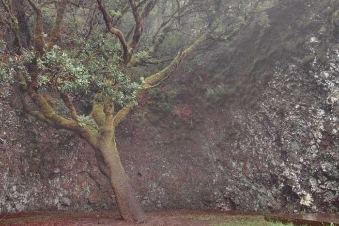 Árbol Garoé en El Hierro de los Bimbaches
