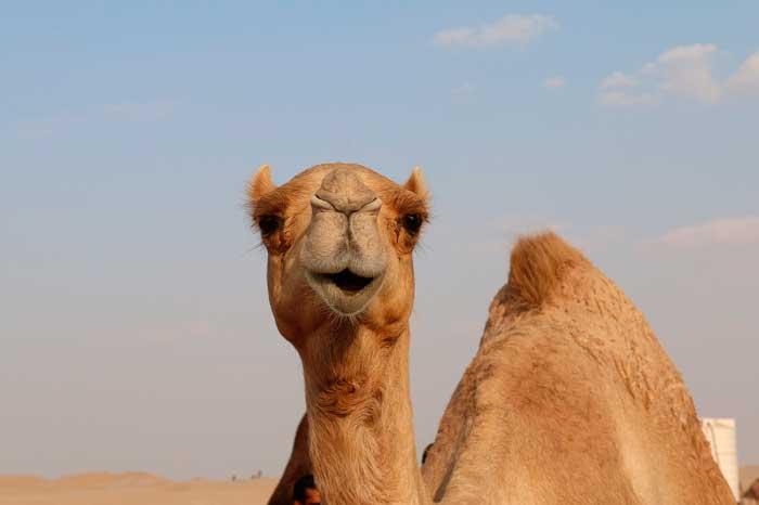 Camello en el Parque Nacional de Timanfaya