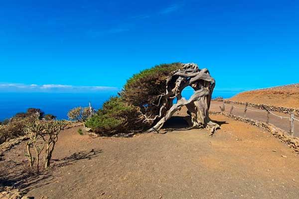 Árbol tumbado de El Sabinar en la Isla de El Hierro