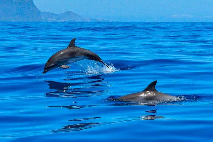 Delfines saltando en una excursión en barco en El Hierro