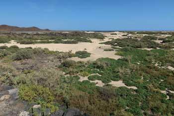 Flora verde de Las Lagunas en el Islote de Lobos