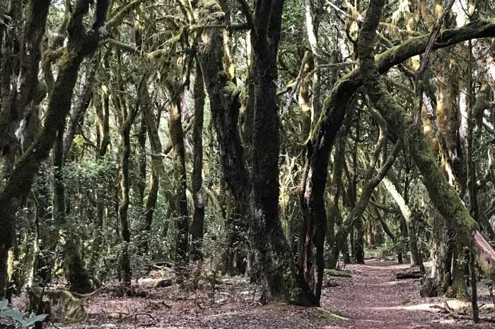 Sendero Raso de la Bruma en el Parque Nacional del Garajonay en La Gomera