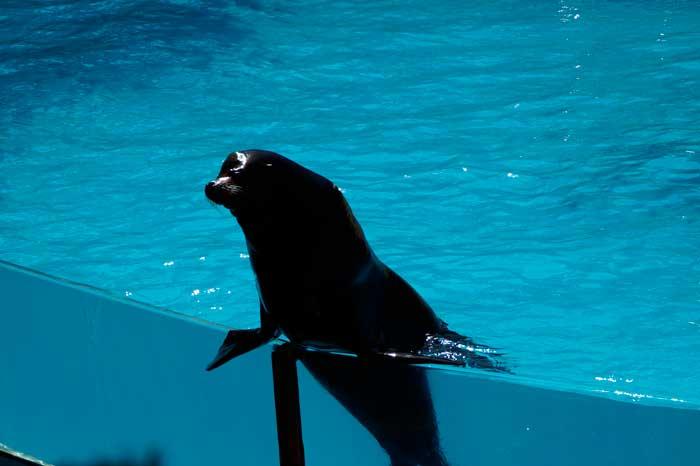 León marino en piscina