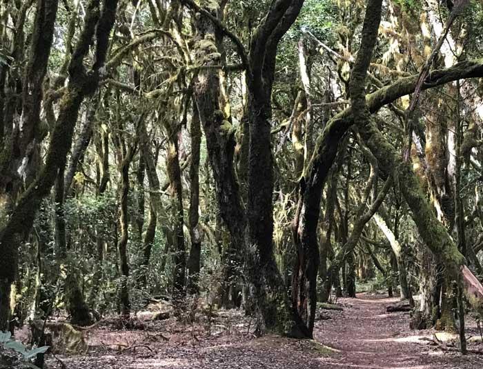 Caminata Raso de la Bruma en el Garajonay con el bosque de laurisilva
